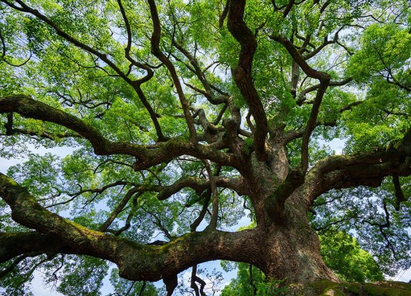 境内にある巨木