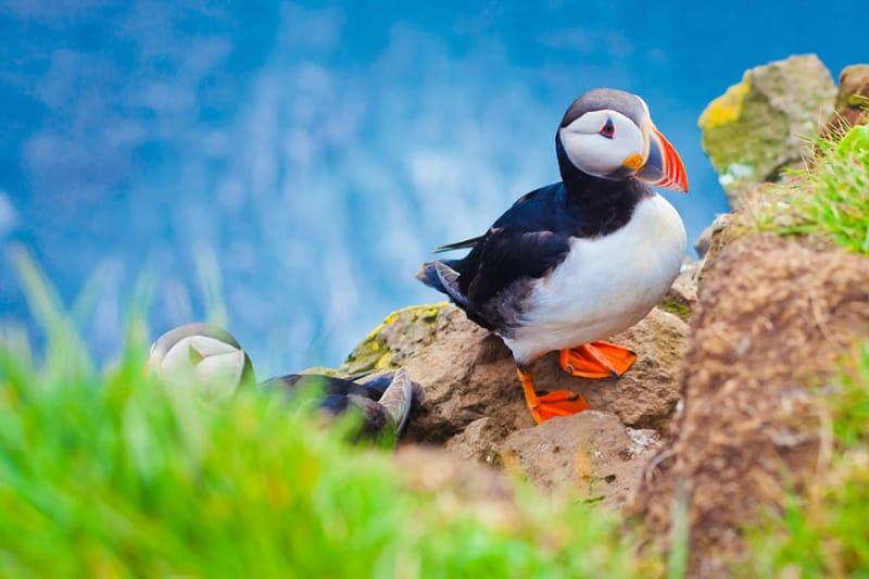 7位 アイスランドに生息する「Atlantic Puffins」(ニシツノメドリ)