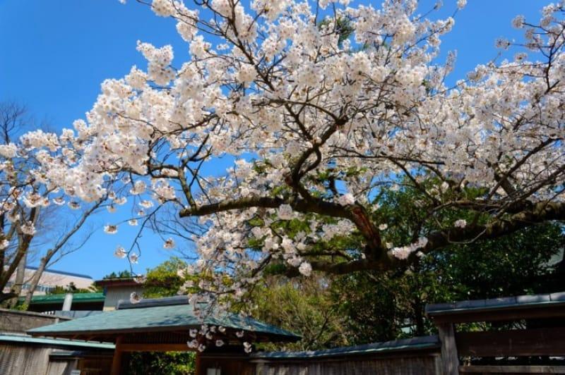 白山神社の門そばに咲いている桜の木と、ピンク色が目印の新潟市役所庁舎です。