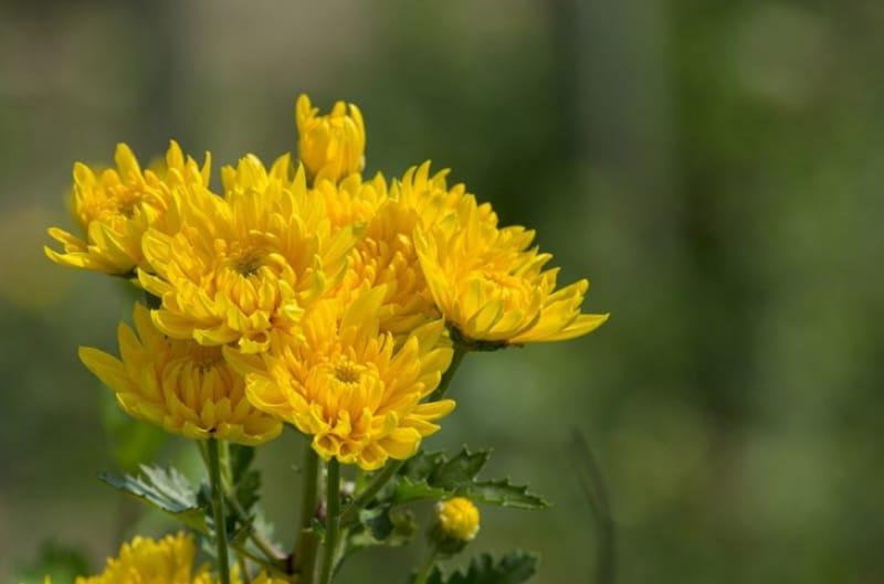 美しい菊が目白押しの菊花展