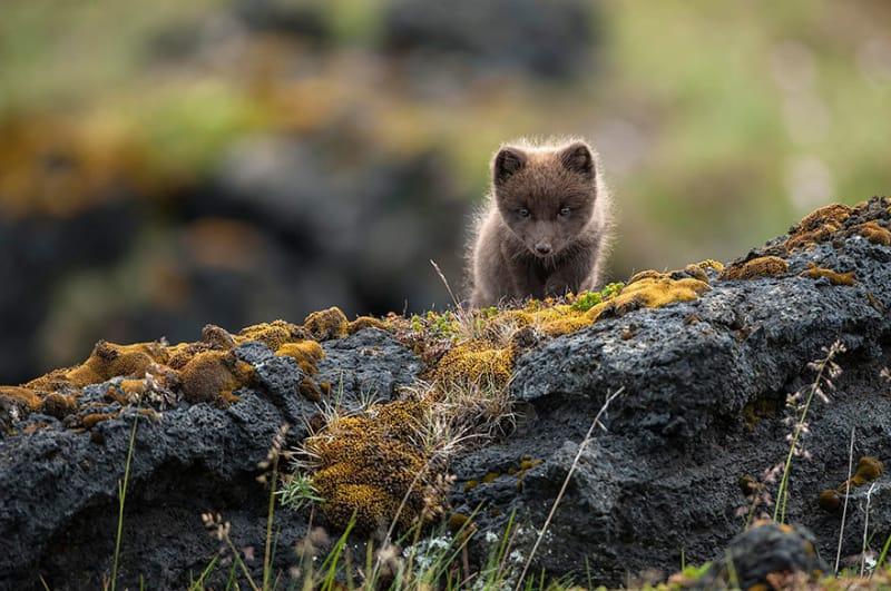 #5. 野生のホッキョクキツネのような野生動物を見ることもできます。