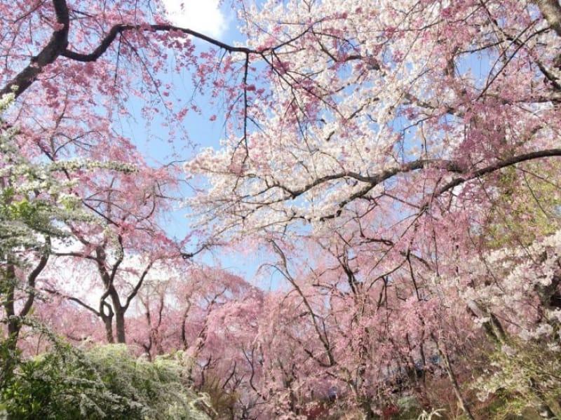 96205:原谷苑(はらだにえん)の桜/京都