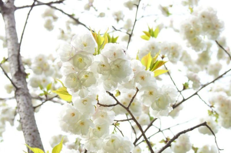 「春」の桜の見どころとえば、 「鬼怒川温泉さくらまつり」