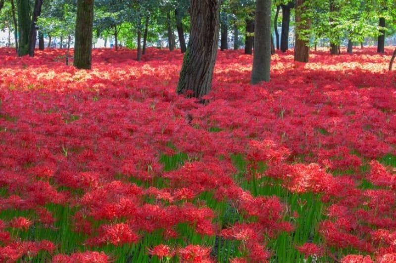 林の中の真っ赤な絨毯 巾着田