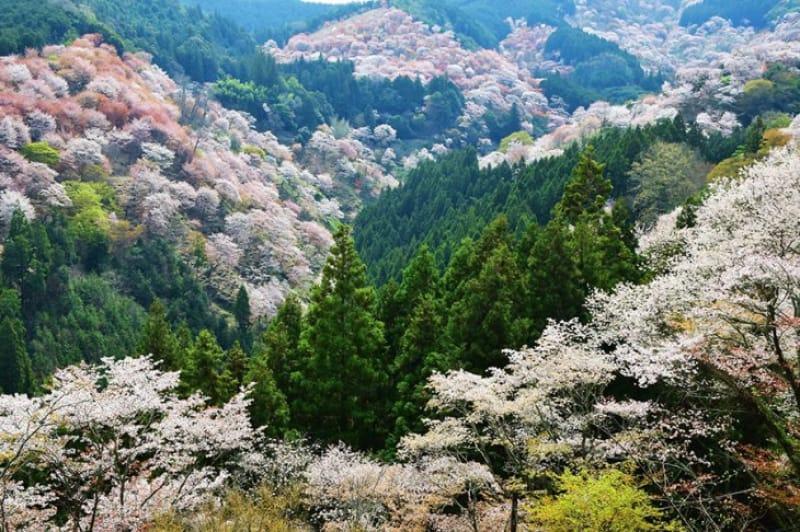 91115:千本桜/奈良県