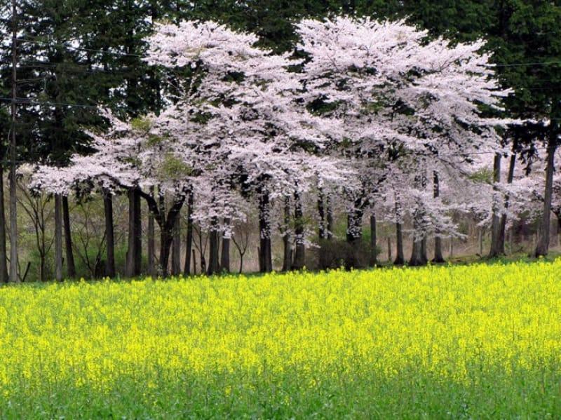 「春」の桜の見どころとえば、「那須千本松牧場」