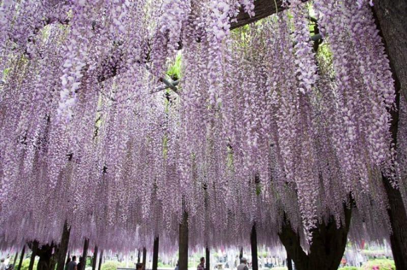 公園内にある玉敷神社の藤棚