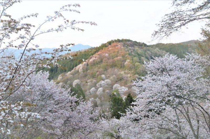 100440:夕映えのする山桜
