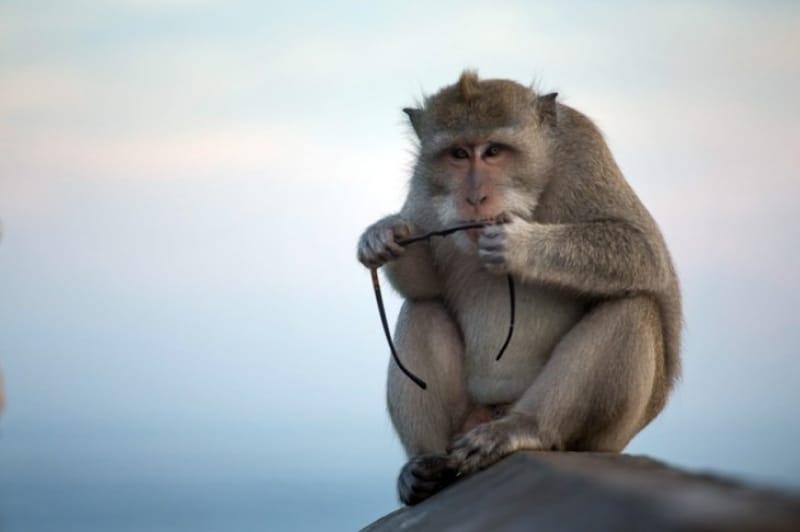 いたずら好きの猿たち