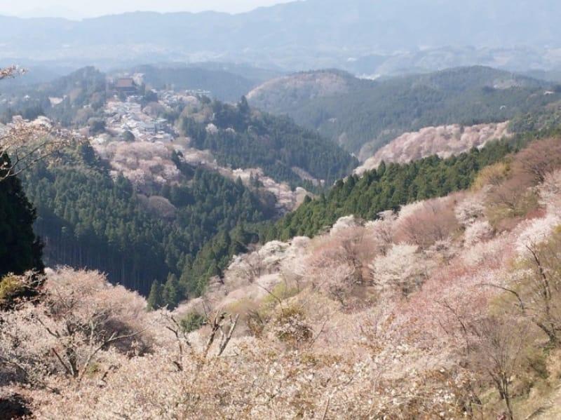 96326:吉野山と桜