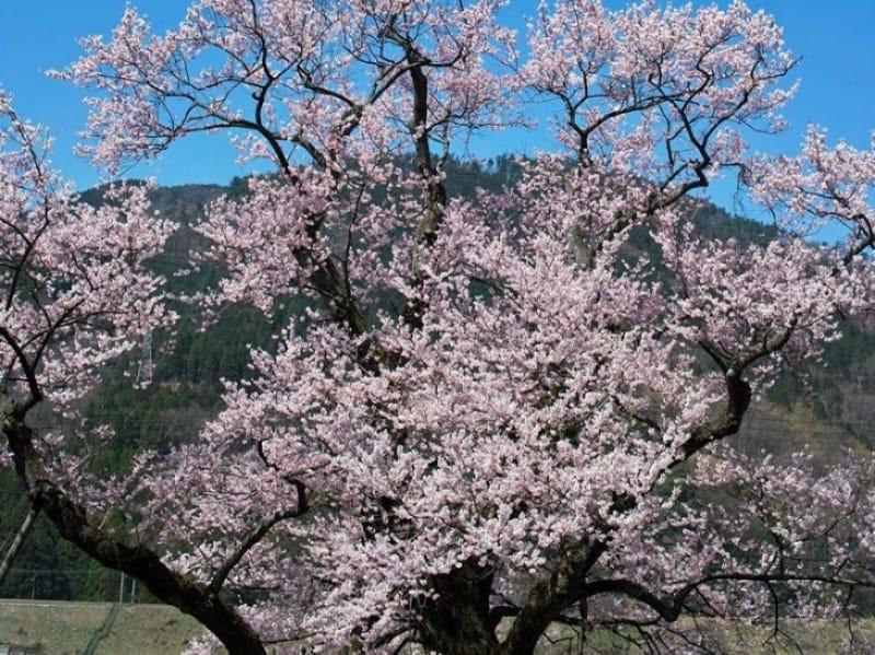 94311:大崎桜に少し早い時期は「見返りの桜」、清水の桜が満開