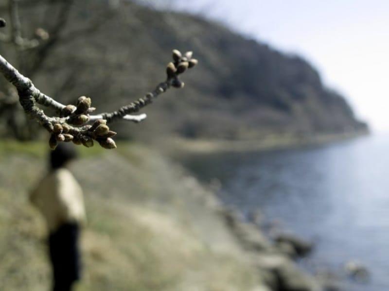 94304:海津大崎、まだ桜は蕾固し