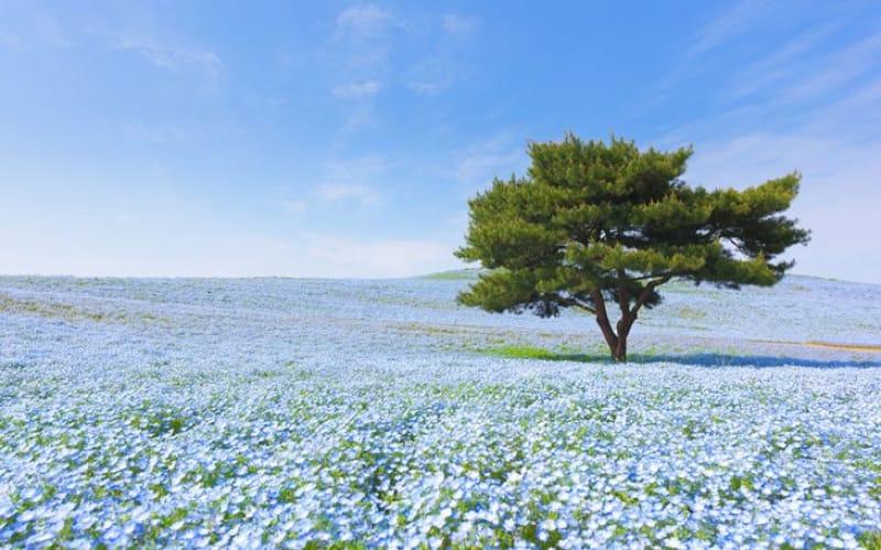 ネモフィラの青と空の青・茨城県〈国営ひたち海浜公園〉