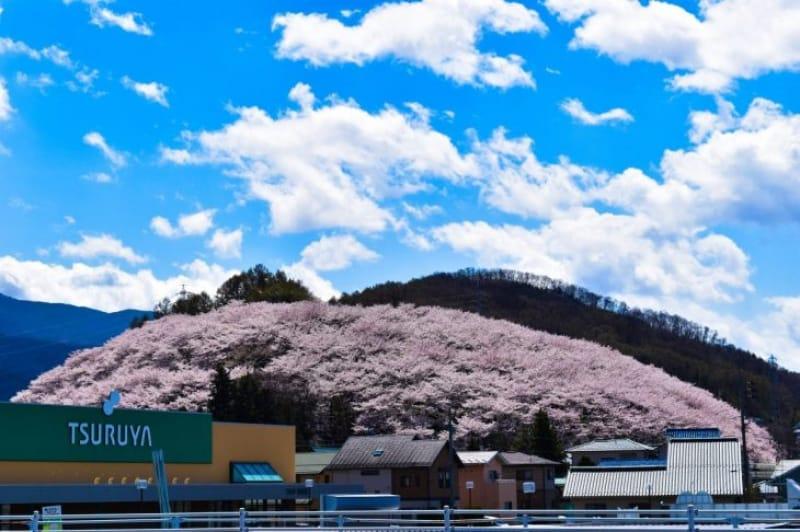 96756:「山全体がピンク!」になる弘法山