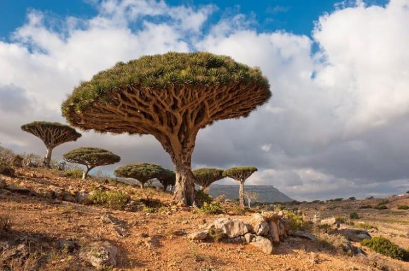竜血樹と呼ばれる不思議な樹