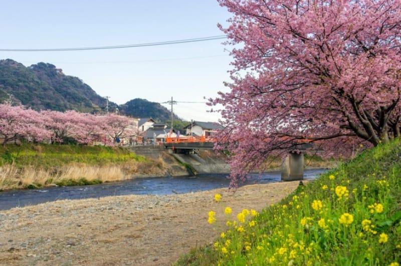 早春を満喫 「河津桜さくら」