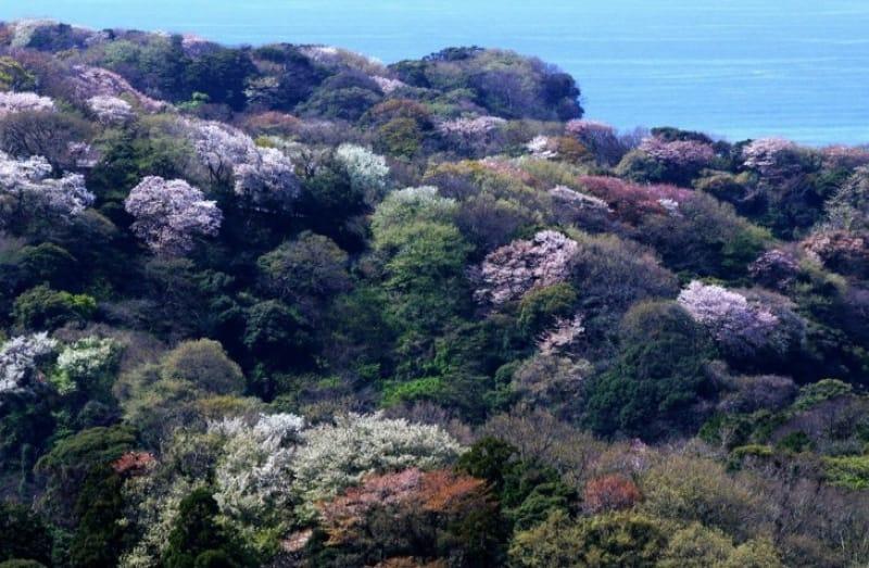 「春」の桜の見どころとえば、「段葛」