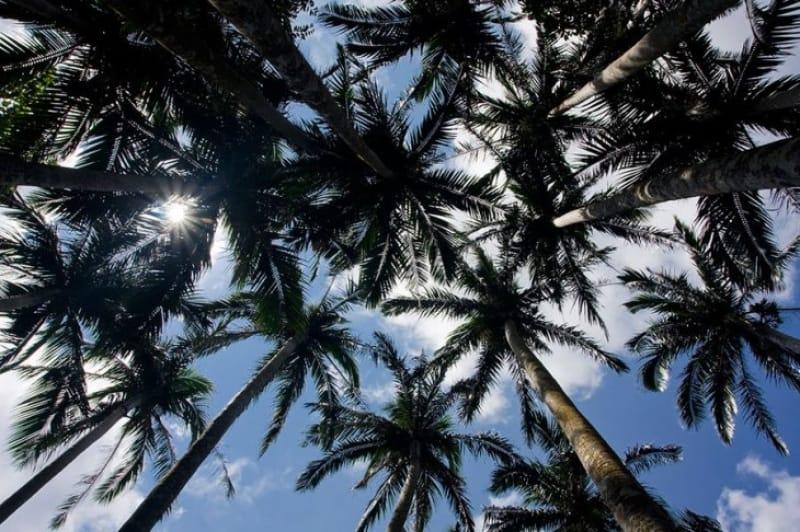 これぞ南国の風景 米原ヤシ林