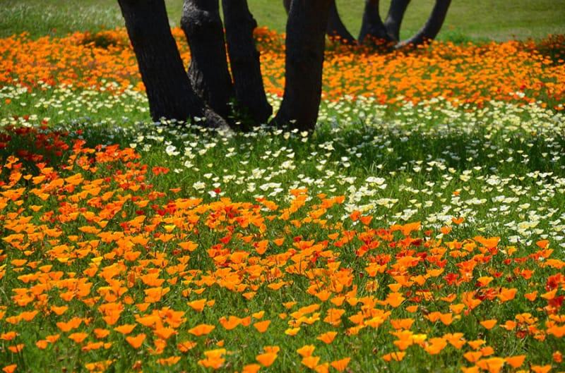 オレンジ色のキバナコスモス