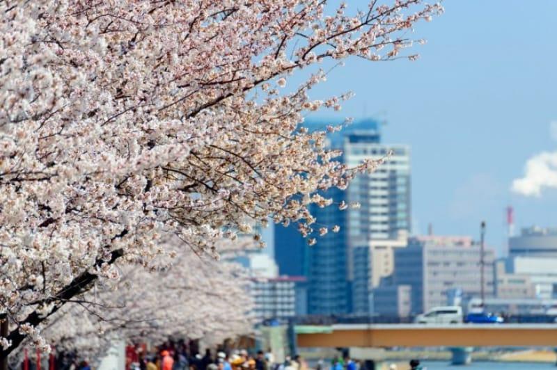 桜の見ごろである春頃の、新潟市やすらぎ堤と万代周辺のビル群です。