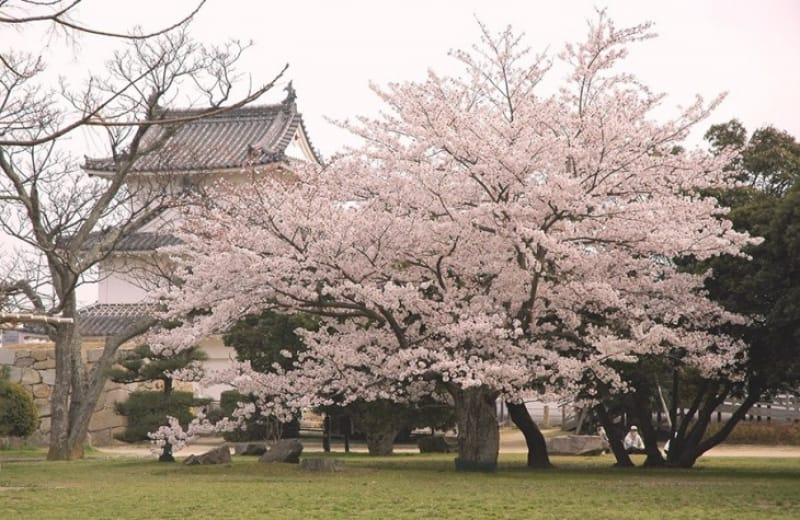 春には美しい桜が咲き誇る!