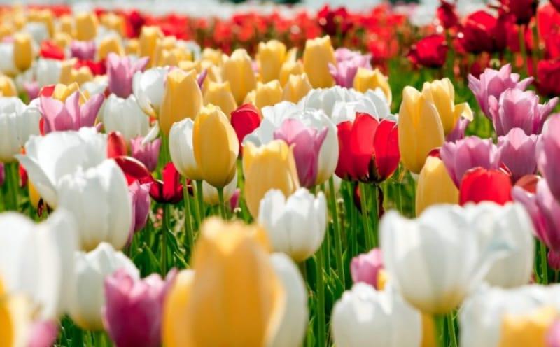 新潟市の花であるチューリップの写真です。
