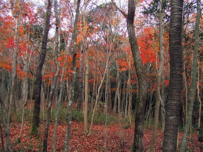 ちょっと変わった紅葉を楽しむ 霧島アートの森