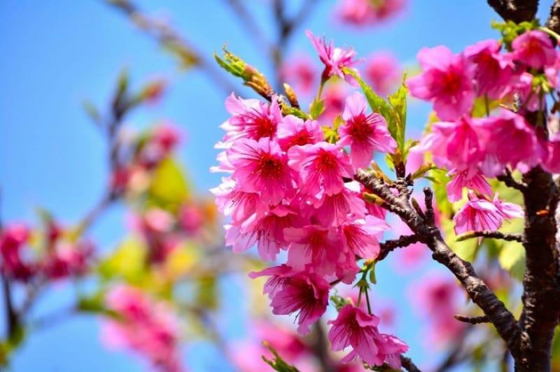 日本一早く桜を見よう!八重岳桜の森公園