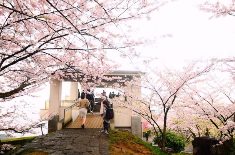 101689:山頂展望から望む瀬戸内海と紫雲出山の桜の森