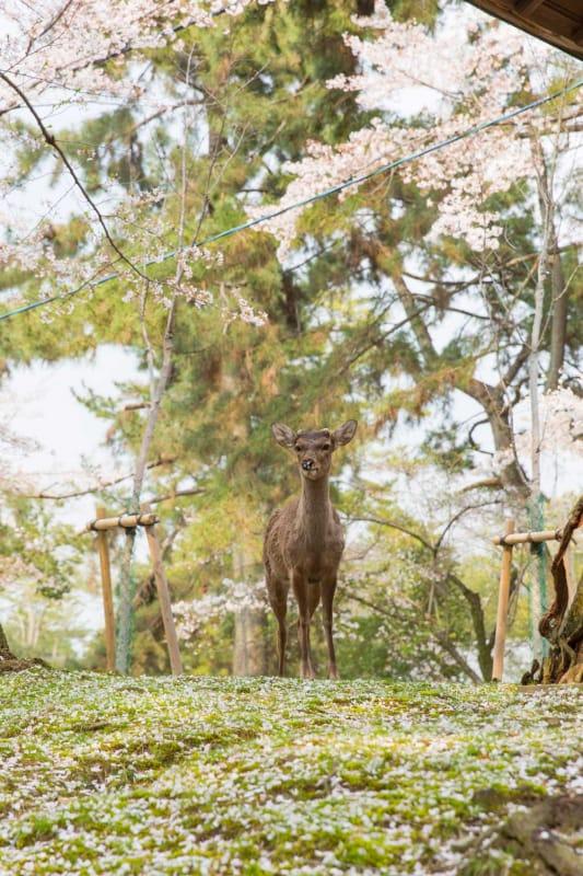 奈良の定番お花見スポット・奈良公園