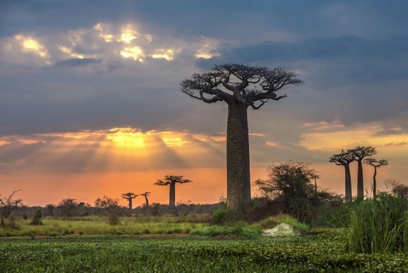 地球上に存在する最も大きな樹木