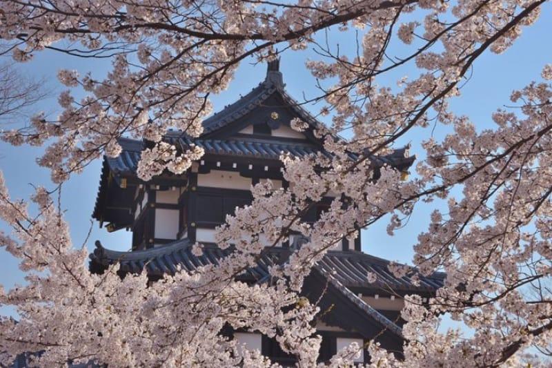 高田城で観る美しき桜