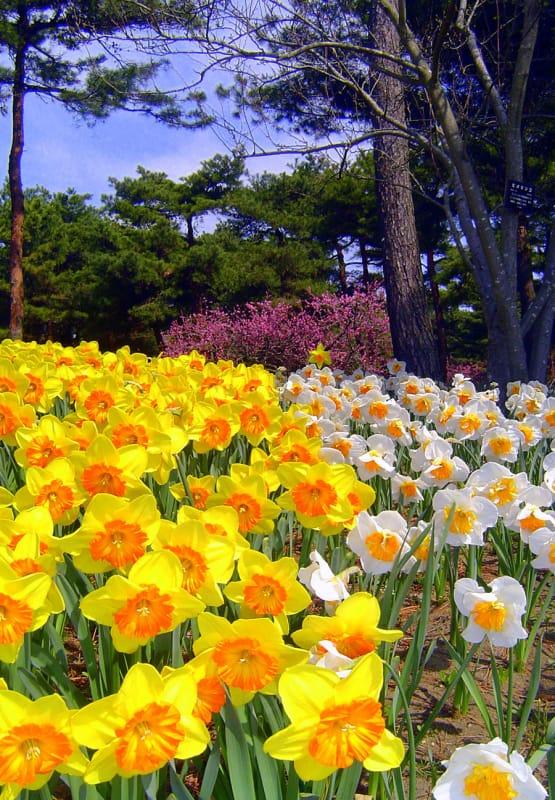 スイセンの花咲く国営ひたち海浜公園