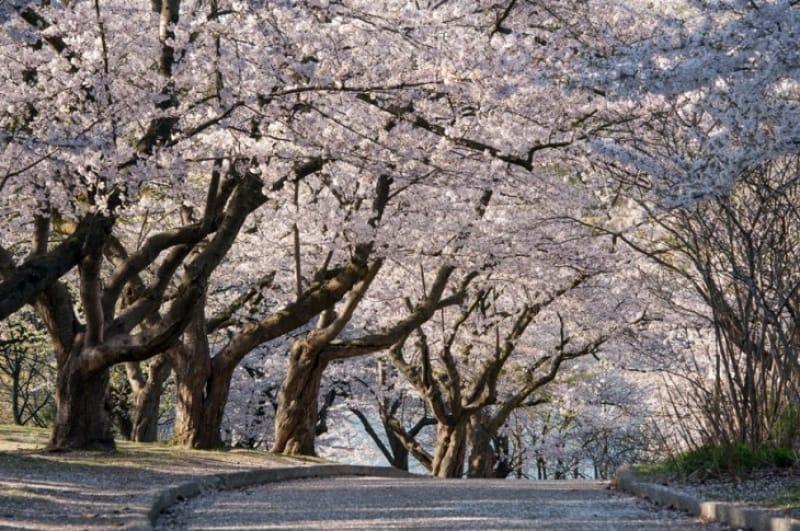 美しい日本の桜がここトロント、ハイパークで観ることができます