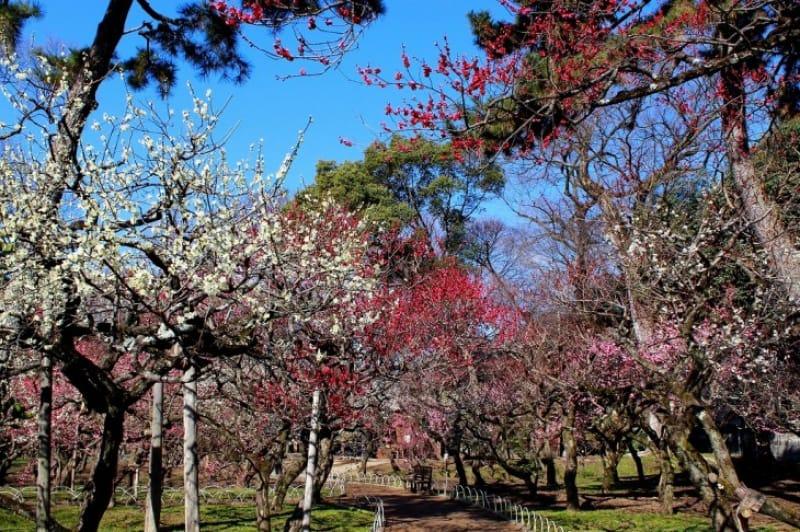3-3.境内に広がる梅の花、「梅苑」