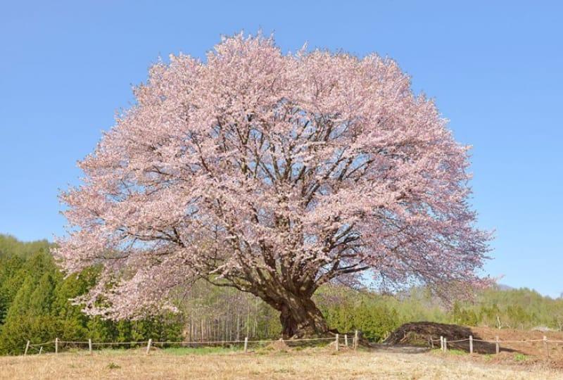 「春」の桜の見どころとえば、「天王桜」