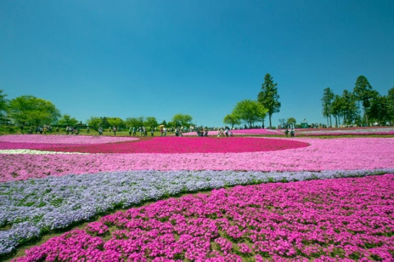 芝桜で視界がピンク!・埼玉県〈秩父羊山公園〉