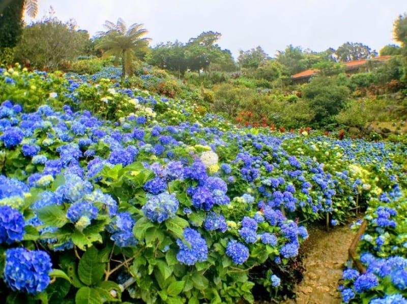 98478:沖縄に咲く紫陽花の奥深さを味わえる「よへなあじさい園」へ出かけよう!