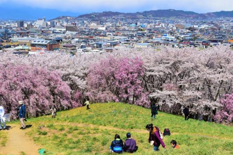 96771:全国的にも桜を上から見下ろす風景は珍しい!