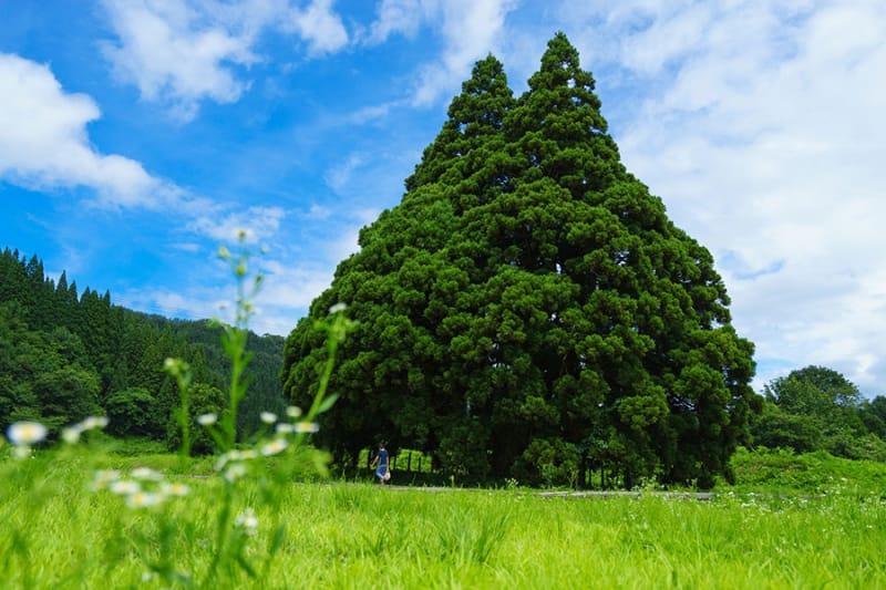 まるでトトロそっくりの杉の木