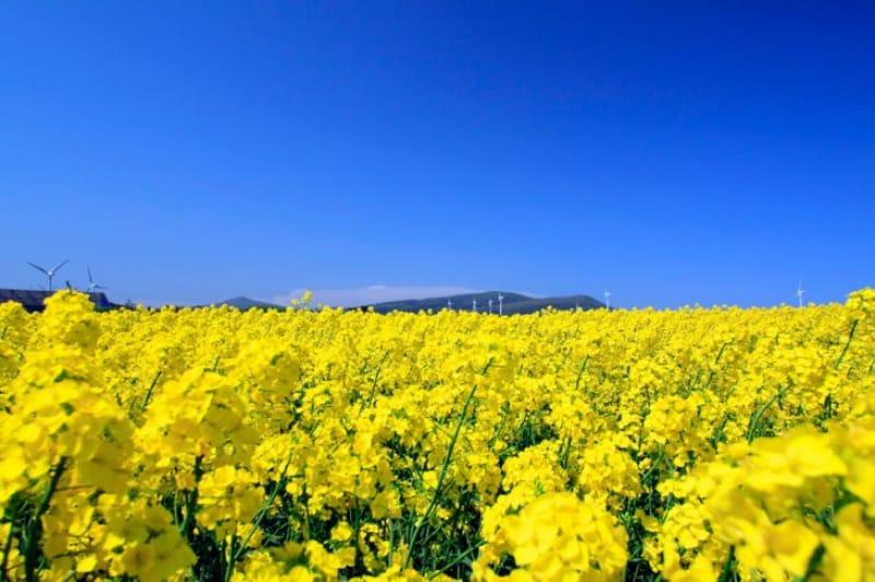 菜の花と風車・青森県〈横浜町〉