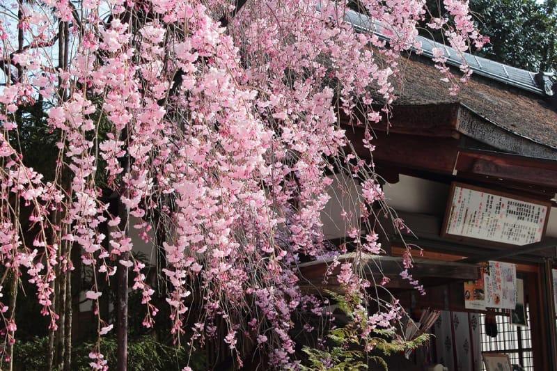 枝垂桜が綺麗なんです!