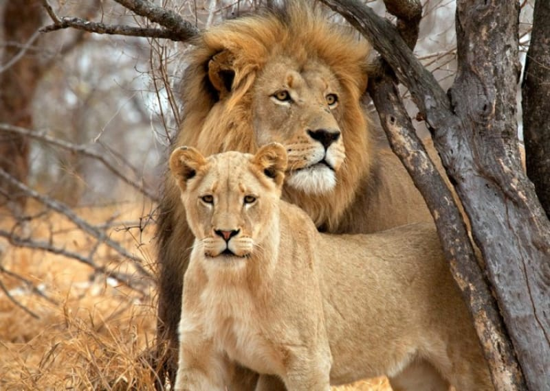 ビッグファイブその3:百獣の王・ライオン
