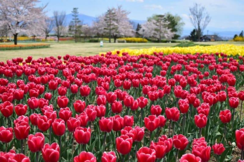 96898:あずみの公園にあるチューリップはなんと68種類、222万本!