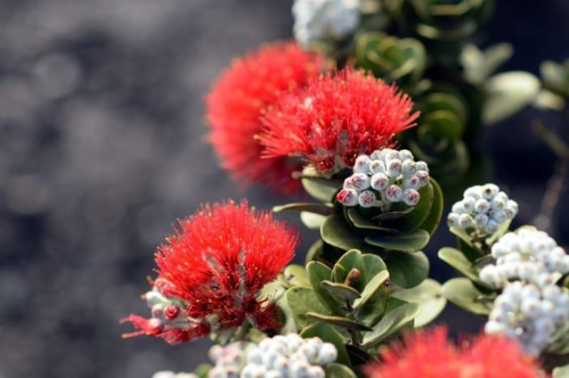 ハワイ島に昔から生きている植物たち