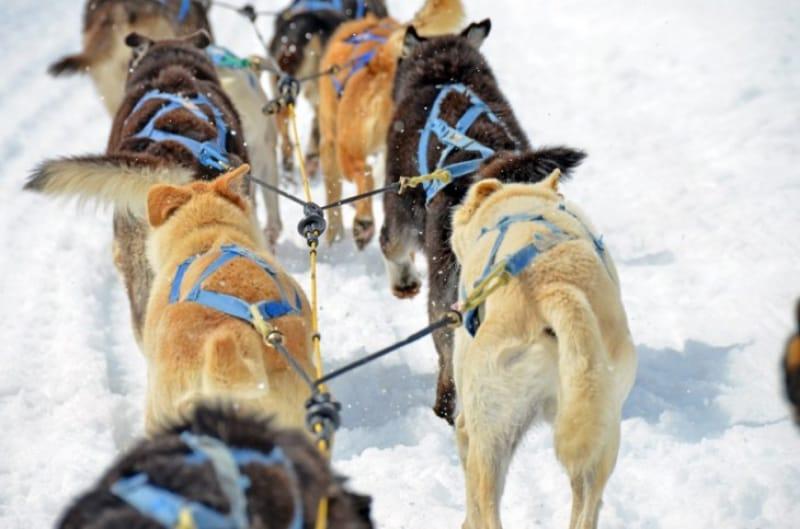 犬ぞりを引くリレハンメルのアラスカ犬