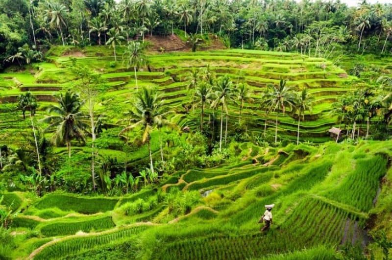豊作なバリ島の米