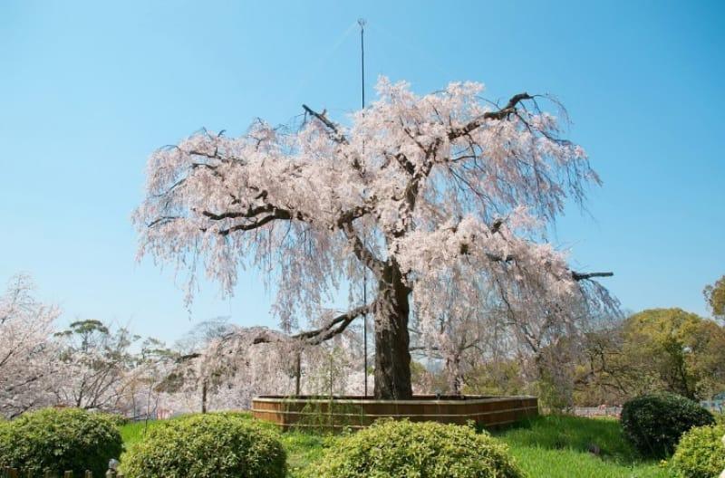 【春】八坂神社の桜を見に行こう!