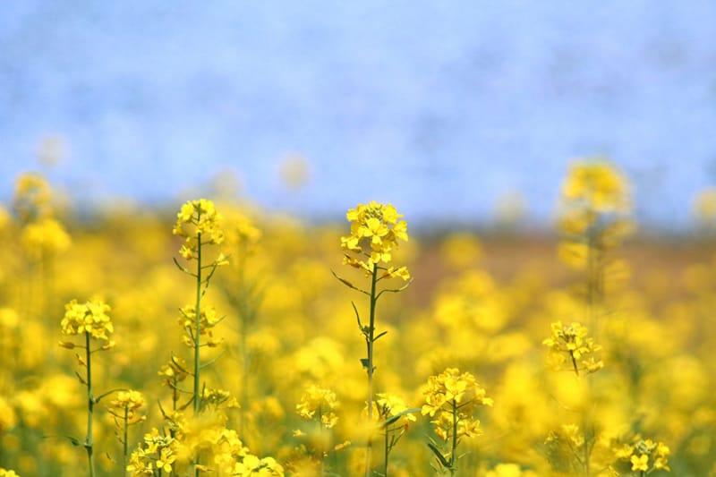 本格的な春を感じる春菜の花