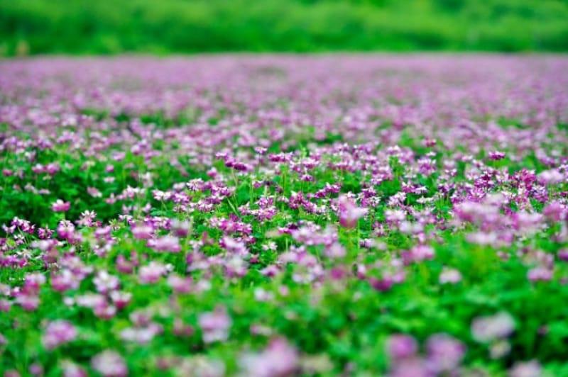 一面の花畑が幻想的・あわじ花さじき